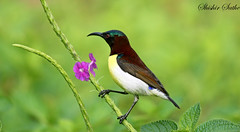 Purple rumped sunbird (sathellite) Tags: india nature birds pune purplerumpedsunbird nectariniazeylonica shishir sathe anawesomeshot sathellite shishirsathe shishirsathephotography