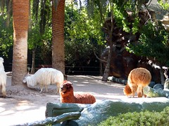 I Love Llamas! at Siegfried & Roy's Secret Garden - Las Vegas (joanna8555) Tags: trip vacation cute animals fun outside hotel spring lasvegas nevada llama fluffy casino nv mirage llamas secretgarden lv siegfriedroy siegfriedroyssecretgarden joanna8555 thejabproj3ct shebbalone