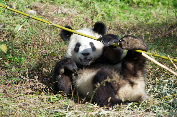 RYALE_Panda_Bears_36