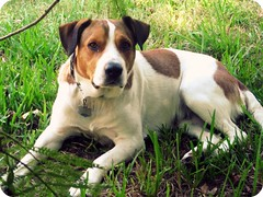 harley rey chillaxin at my boss's house (Willow Creek Photography) Tags: dog mutt canine harley femaledog brownandwhitedog pitmix houndmix whiteandbrowndog harleyrey pithoundmix