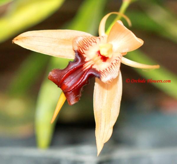 Coelogyne sp., new species ? Please identify