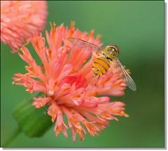 Mosca da Flor solitária... (Marina Linhares) Tags: flower flor bee mel abelha greatphotographers flowersarebeautiful excellentsflowers natureselegantshots