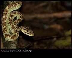 Malabar Pit Viper (Ajith ()) Tags: snake pit viper malabar h