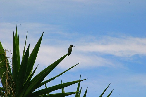 hummingbird at sunrise