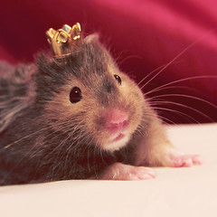 Princess Sophia (R.I.P. babygirl!) (Shandi-lee) Tags: pink pet cute animal nose princess adorable royal dressup whiskers onceuponatime hamster crown paws animalportrait animalcostume miniaturecrown