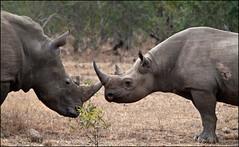 White Rhino and Black Rhino at Mkhaya Game Reserve (jpmckenna - Antarctica Bound) Tags: rhino blackrhino whiterhino whiterhinoceros blackrhinoceros ceratotheriumsimum dicerosbicornis mkhayagamereserve
