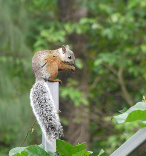 Ekorre i Costa Rica