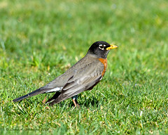 022010 AmericanRobin (wildcatlou) Tags: bird nature wildlife americanrobin qualitygold