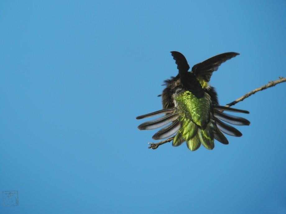 Anna's Hummingbird 2010o-3