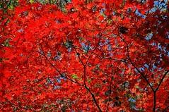 Koyo-Maple leaves (snaphappysal) Tags: autumn red orange colour green leaves japan reflections cherry temple tokyo maple kyoto shrine blossom momiji kobe geisha osaka sumo lantern hanami aboretum koyo
