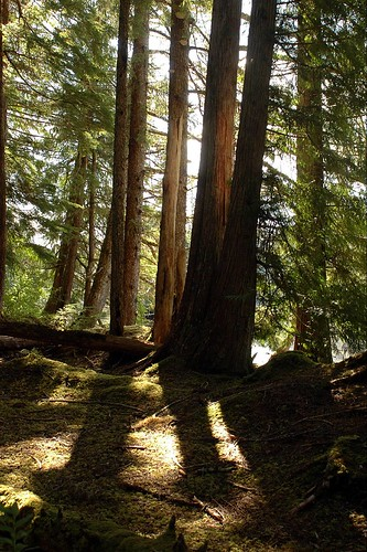 The sun streaks into the dense forest, shadowing and illuminating an old growth stand on the Tongass National Forest, the largest in the US Forest Service system of managed public lands. (US Forest Service photo)
