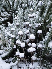 Phlomis seedheads in snow 1