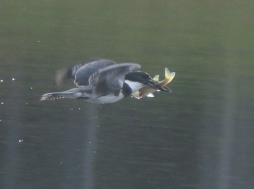 Belted Kingfisher with prey (can anyone ID the fish?) 20101123