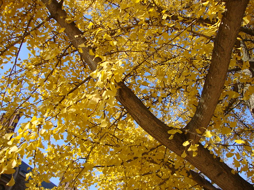 11/22/10 ginko tree on Princeton's campus