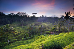 Terraced paddy field in Bali (hock how & siew peng) Tags: morning bali green field sunrise indonesia landscape dawn nikon asia village rice paddy sigma palm hh agriculture curve 1020mm ubud 2010 terraced d80 tegalalang hockhow dsc1991 hhsp hockhowsiewpeng