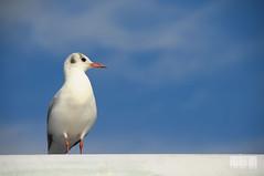 It's a bird! (JIMERU) Tags: sky white bird japan birdie tokyo nikon barcode sideview ibon d300 kotoku jimelski