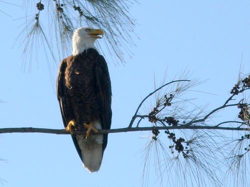 Bald Eagle 20101129
