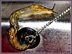 Sluggish Overflow (ronramstew) Tags: kitchen sink drain domestic yuck waste snails slugs overflow drainage mygearandme