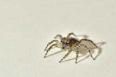 """Arañita (4)"" (Marcelo Savoini) Tags: macro spider nikon sb600 arañita micronikkor105mmvr sb900 d7000"