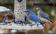 eastern bluebird (sialia sialis) (joghadban) Tags: usa capecod massachusetts unitedstatesofamerica sandwich easternbluebird sialiasialis backyardbirds sandwichma capecodbirds backyardfeederbirds