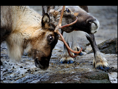 Reindeer fight (Kader Lagraa) Tags: winter light snow cold nature beautiful beauty look animal composition contrast reindeer photography zoo photo fight amazing interesting eyes nikon shot image feel ground horn charming capture combat learn 28300mm odense vr lense sense 28300 kader abdelkader unequal d700 lagraa klagraa