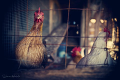 Chicks Dig Me (Sheree Altobelle) Tags: california chicken wire nikon photographer bokeh f14 sigma cage ag chicks rooster coop agriculture visalia henhouse hens 30mm traver d700 shereealtobelle dxlensfxbody