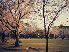 2011-04-06 Kiyosu (yymkw) Tags: pink sunset japan pen cherry lumix blossom olympus 20mm  aichi ep1 f17 kiyosu