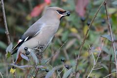 HNS_1214 Pestvogel : Jaseur boreal : Bombycilla garrulus : Seidenschwanz : Bohemian Waxwing