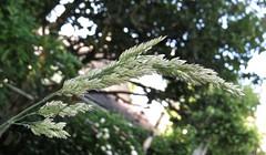 3237 Ornamental grass Seed head (Andy - Busyyyyyyyyy) Tags: ggg ooo ornamentalgrass seedhead sss