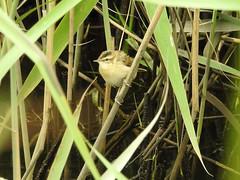 Sedge Warbler 01 (Magic Moments by Pippa) Tags: british wildlife nature nikon p900 strumpshaw fen norfolk birds sedgewarbler
