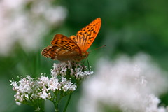 on a cloud (bkellerstrass) Tags: schmetterling butterfly paphia argynnis kaisermantel specinsect