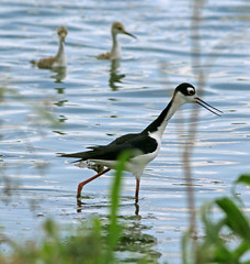 Black-necked Stilt (1krispy1) Tags: shorebirds recurves stilts blackneckedstilt texasbirds