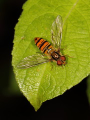 EOS 7D Mark II_049486 (gertjan.kamsteeg) Tags: animal invertebtate bug insect fly hoverfly syrphidae marmaladehoverfly episyrphusbalteatus macro