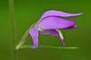 Red helleborine (Cephalanthera rubra) (Thomas Roland) Tags: orchid orkide orkidé gøgeurt orchis flora flower blomst botanical botanic wild closeup macro makro detail detalje green grøn nikon d7000 natur nature sjælland zealand denmark danmark spring june juni forår sommer summer allindelille fredsskov skov forest rød skovlilje cephalanthera rubra red helleborine
