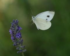 Weissling im Anflug (lomix-logo) Tags: weissling flug schmetterling butterfly