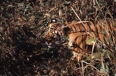 Bengal tiger Kahna NP Mahdya Pradesh India (inyathi) Tags: pantheratigris indianwildlife asianwildlife asianmammals bengaltiger tigers bigcats cats predators carnivores