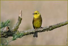 "N° 772 / Bruant jaune "" mâle "" ( Emberiza citrinella ) Focus Distance-7.94 m (norbert lefevre) Tags: oiseau passereau plumage bruant nikon d500 300mmf4 emberizacitrinella nature picardie cultures"