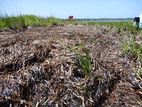 seagrass wrack