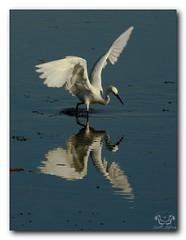 Snowy Egret Fishing (Nature Photos by Scott) Tags: wild bird nature birds reflections florida wildlife birding egret snowyegret merrittisland nwr merrittislandnwr scotthelfrichphotographycom