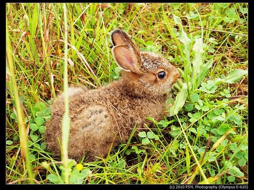 Snowshoe Hare bunny (Lepus americanus)
