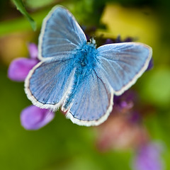 (Le Piment) Tags: butterfly papillon commonblue polyommatusicarus argusbleu