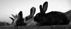 rabbits Scared Abdulwahed Abn Dais (Abdulwahed aldaeys) Tags: rabbits scared dais abn abdulwahed