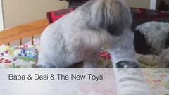 Baba & Desi & the New Toys (the other Martin Taylor) Tags: playing dogs toys desi babalu havanese project365 365jul2010