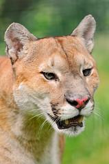 Last puma portrait (Tambako the Jaguar) Tags: wild portrait face cat switzerland big nikon kitty puma cougar mountainlion d300 concolor subingen raubtierpark