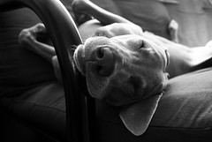 sweet sleep (saikiishiki) Tags: dog cute love face happy cozy sweet sleep dream adorable content gravity weimaraner kawaii futon relaxed sweetness uncropped 2010 comfy omoshiroi weim mukha 2952 52weeksfordogs 52weeksformukha