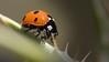 Ladybird (alanpeacock2) Tags: macro nature wildlife insects ladybird