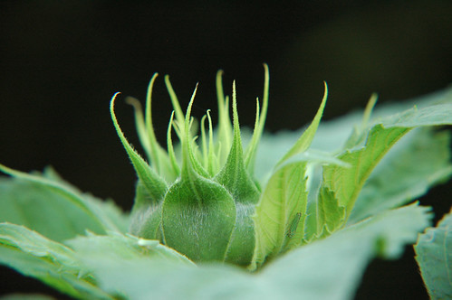 Sunflower Bud