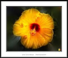 Gold flower (Jose Luis Mieza Photography) Tags: flowers flores flower fleur fleurs flor benquerencia florews reinante jlmieza reinanteelpintordefuego joseluismieza