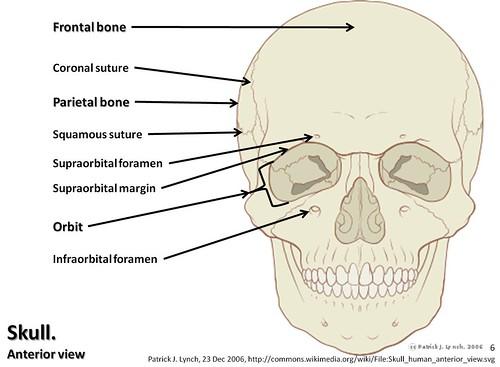 Frontal View of Skull Skull Diagram Anterior View