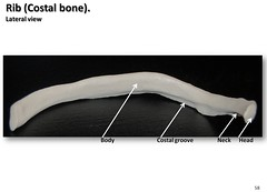 Rib bone, lateral view with labels - Axial Skeleton Visual Atlas, page 58 (Rob Swatski) Tags: york podcast college neck skeleton photo model community education lab body head pennsylvania label review creative commons system medical pa organ study aid human anatomy laboratory learning atlas groove bone guide practice rib visual biology harrisburg skeletal wiki costal clinical lateral physiology connective axial hacc biol itunesu musculoskeletal swatski robswatski biogeekiwiki biol121